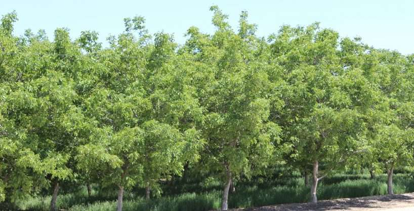80 Acres Walnuts, Porterville