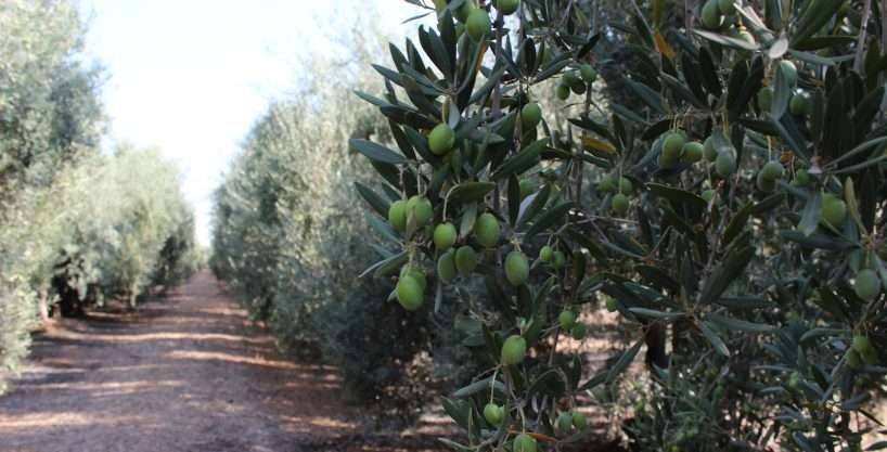 51.09 Ac. Olives and Home, Woodlake