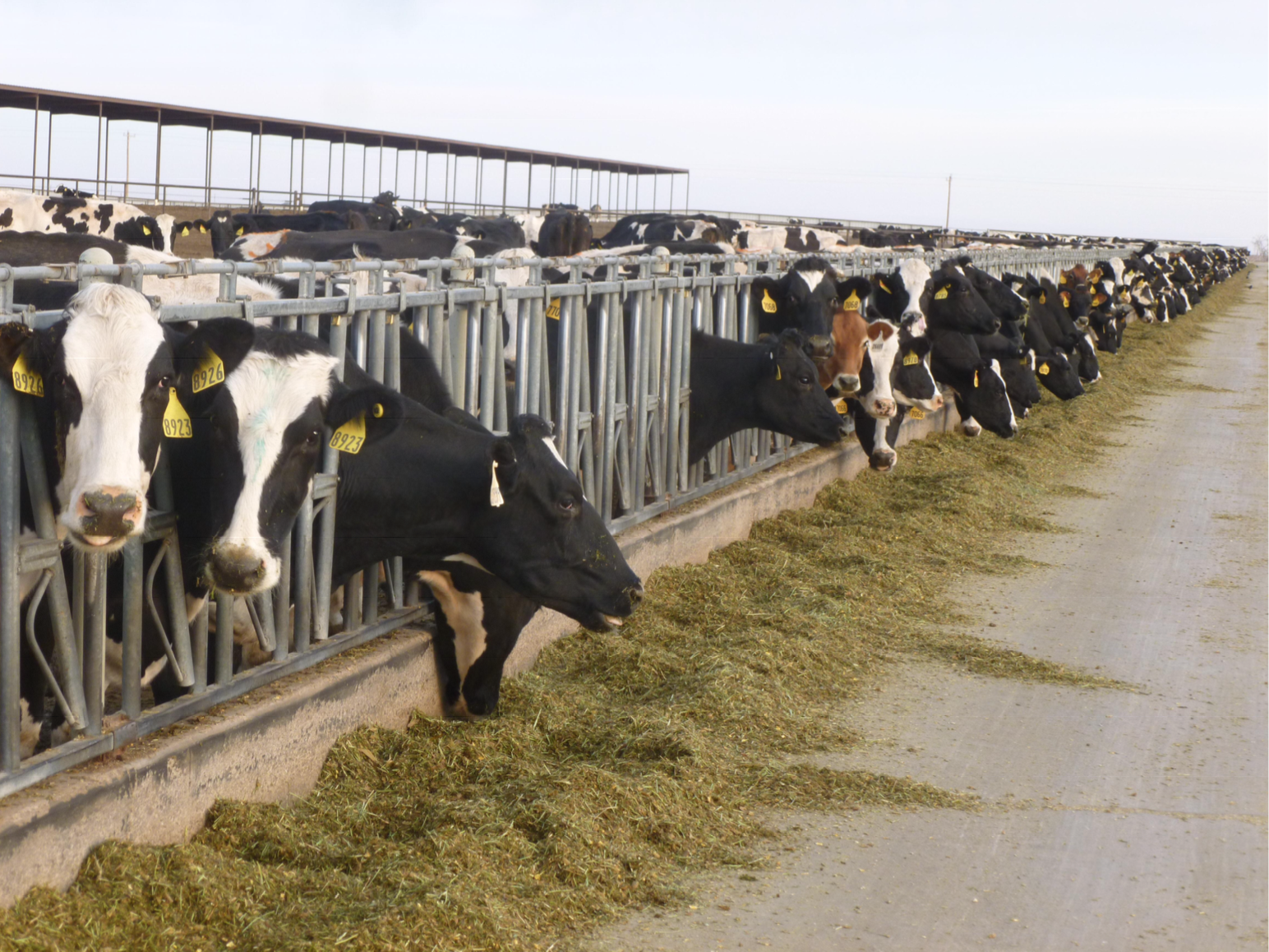Black Texas Dairy For Sale or Lease
