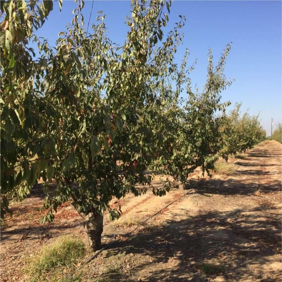 14.68 Acres Plums, Sanger