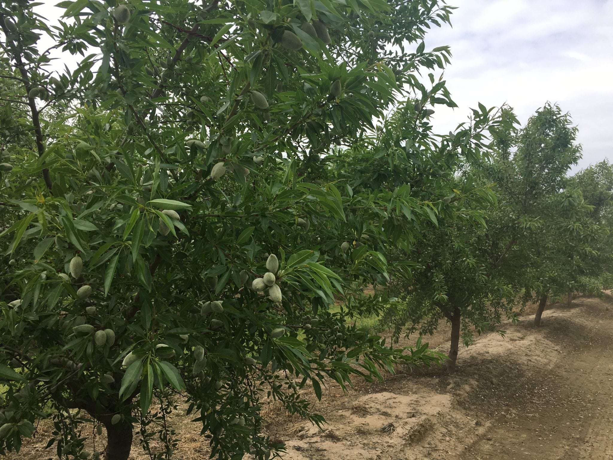 19 Acres Almonds, Island District, Kingsburg