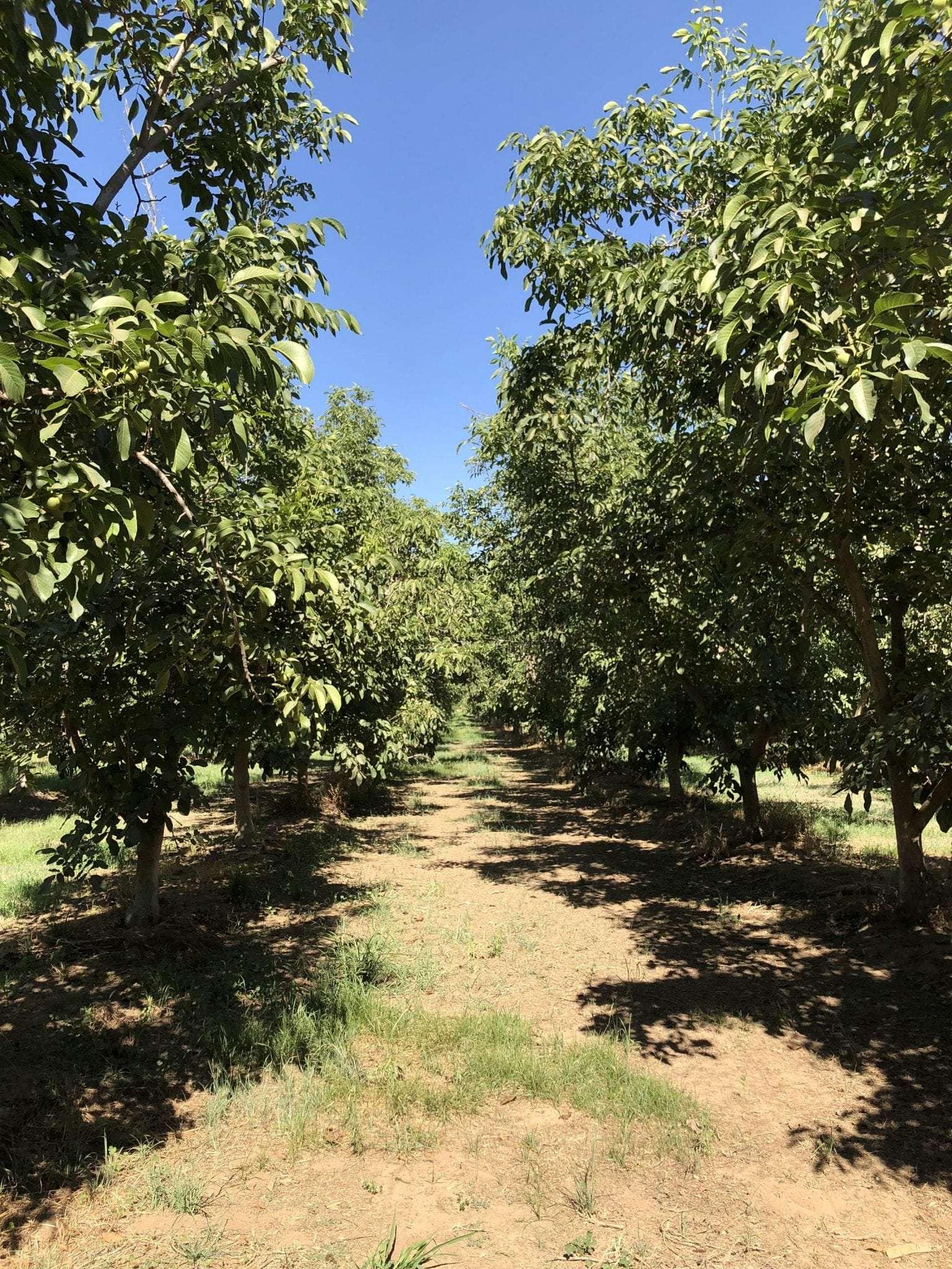 74.1 Acres Walnuts, Porterville