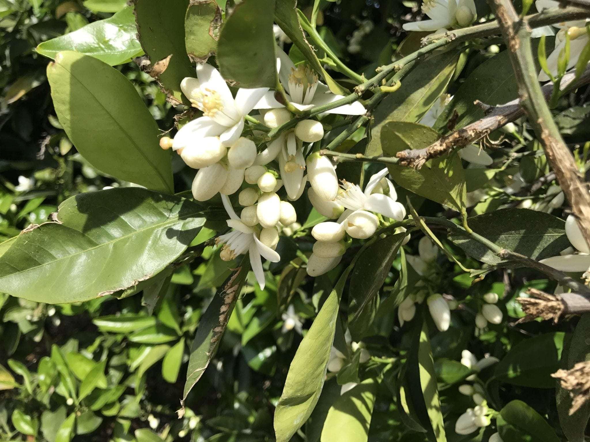3.69 Acres Citrus, Orosi