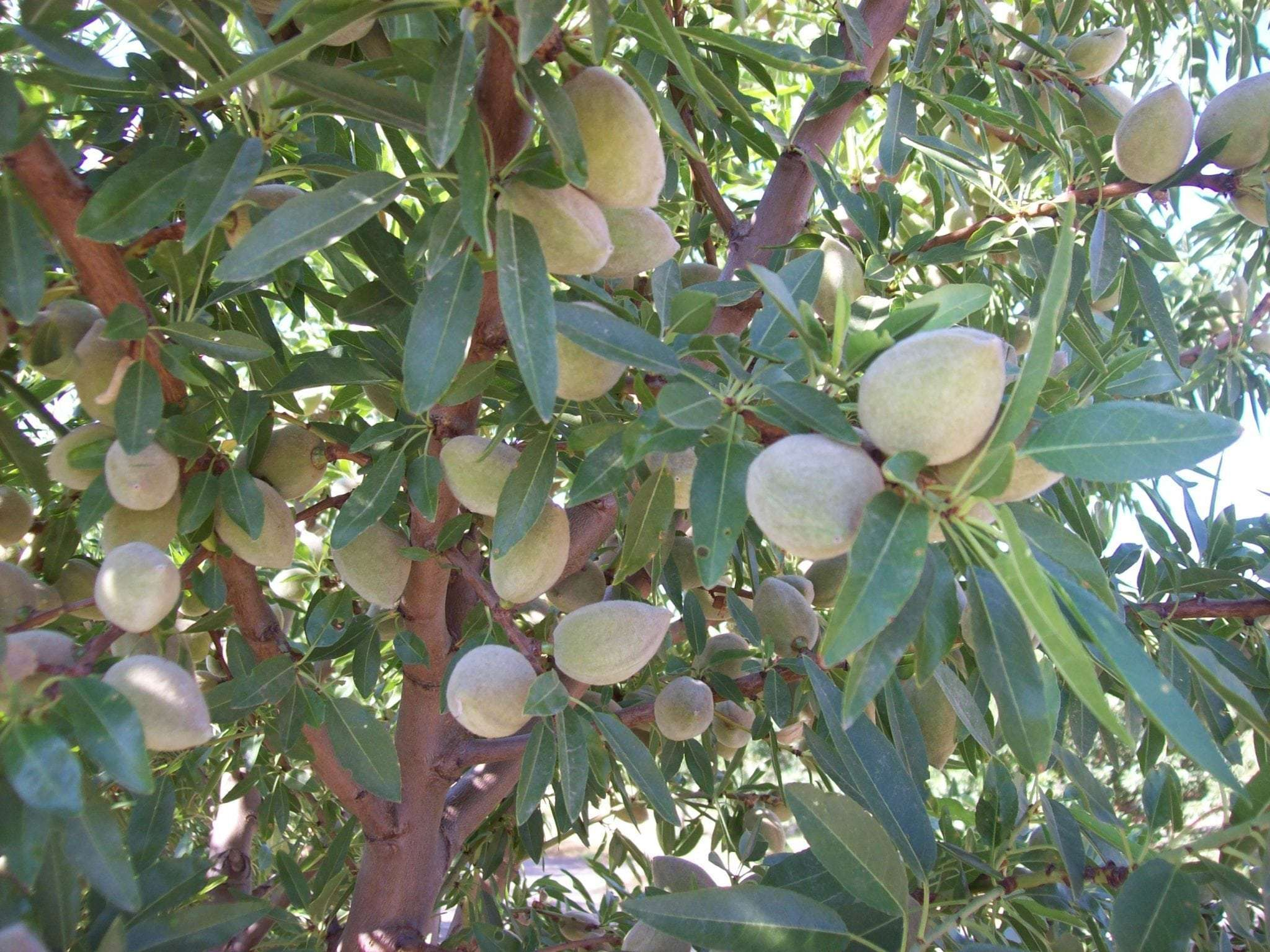 39.49 Acres Independence Almonds, Kingsburg