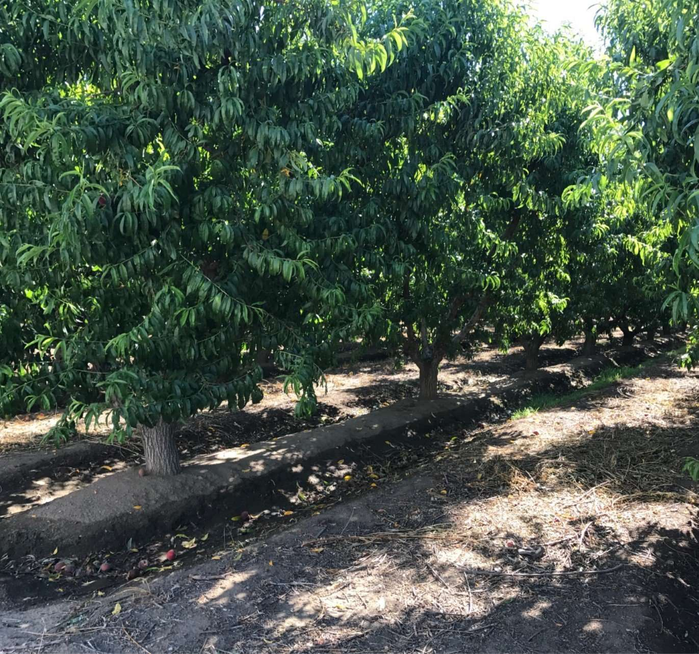 145.62 Acres Open and Tree Fruit, Dinuba