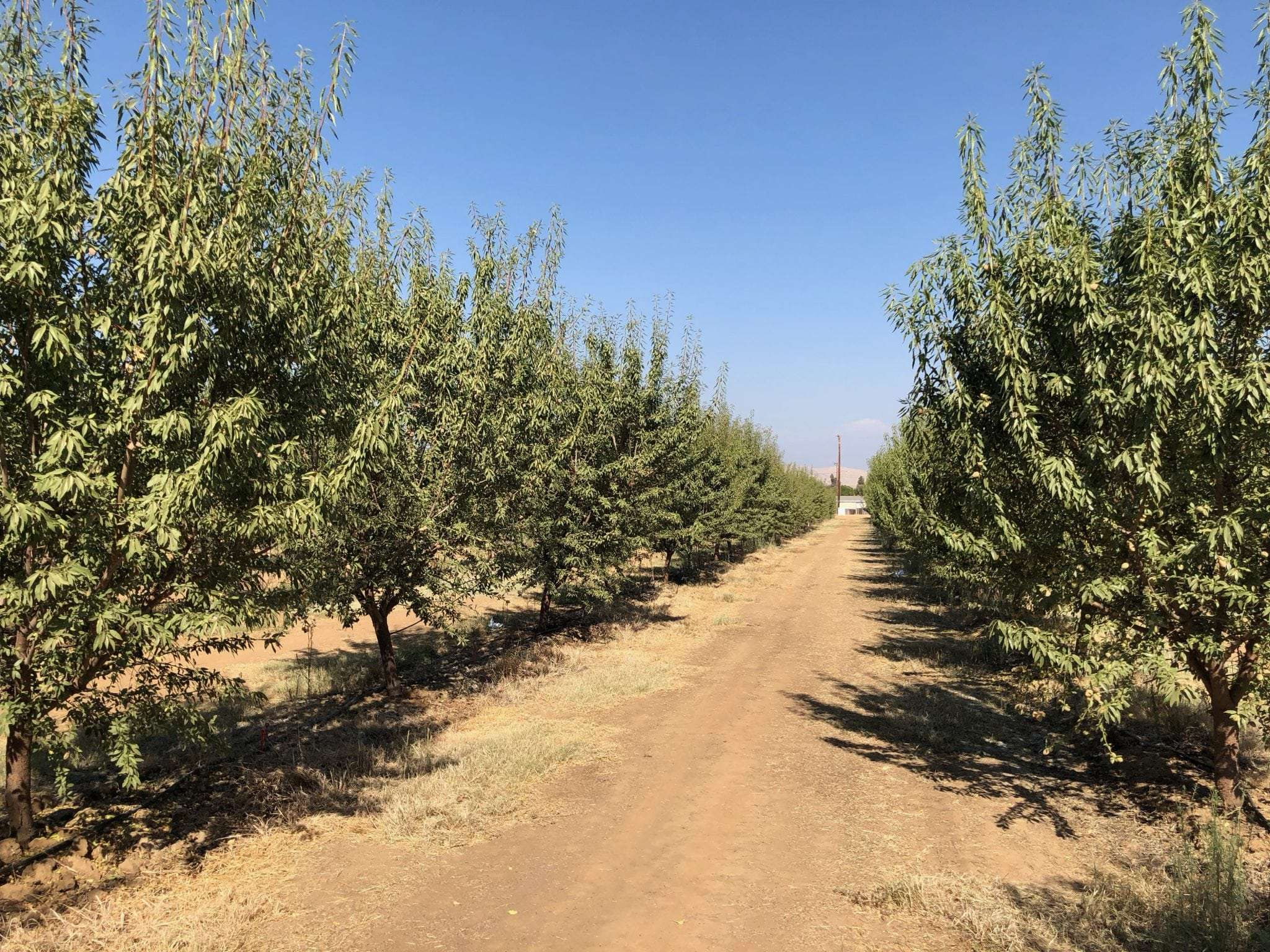 20 Acres Young Almonds, Porterville