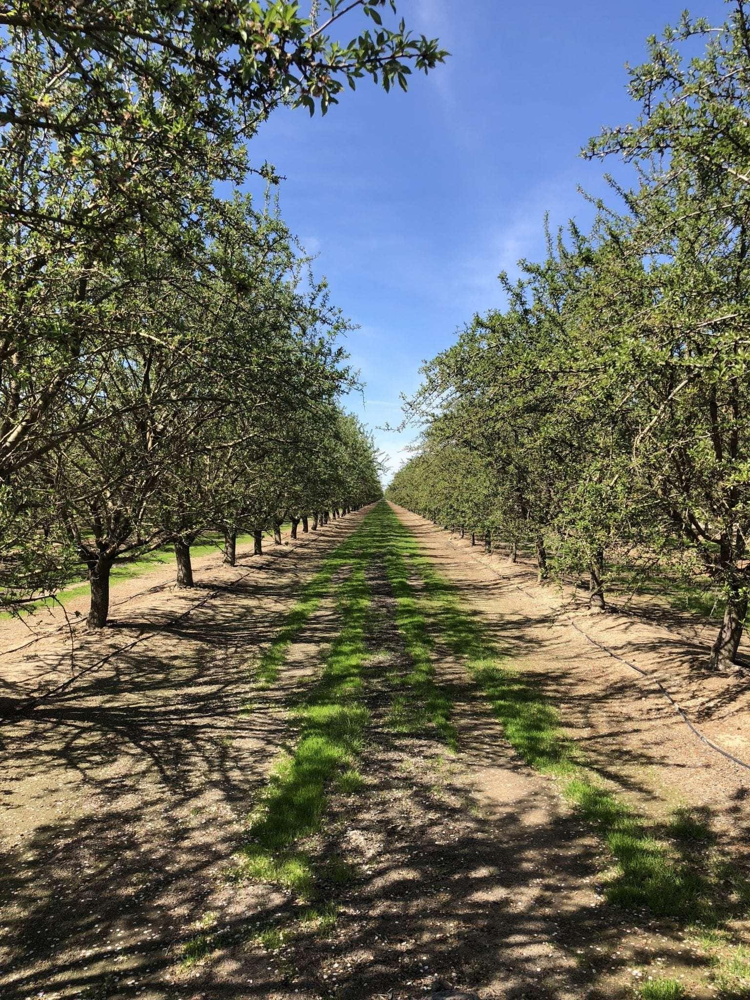 146.3 Acres Almonds, Madera