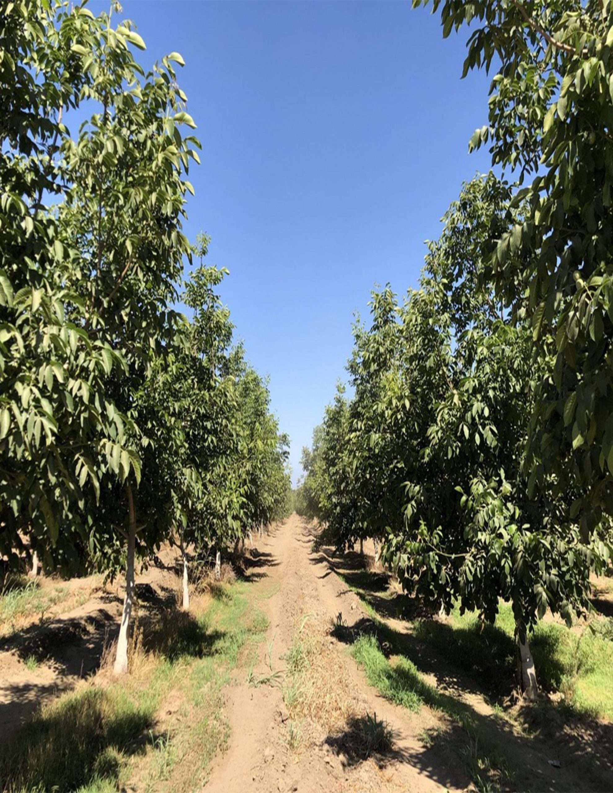 +/-58.38 Acres – Walnuts – Porterville, CA