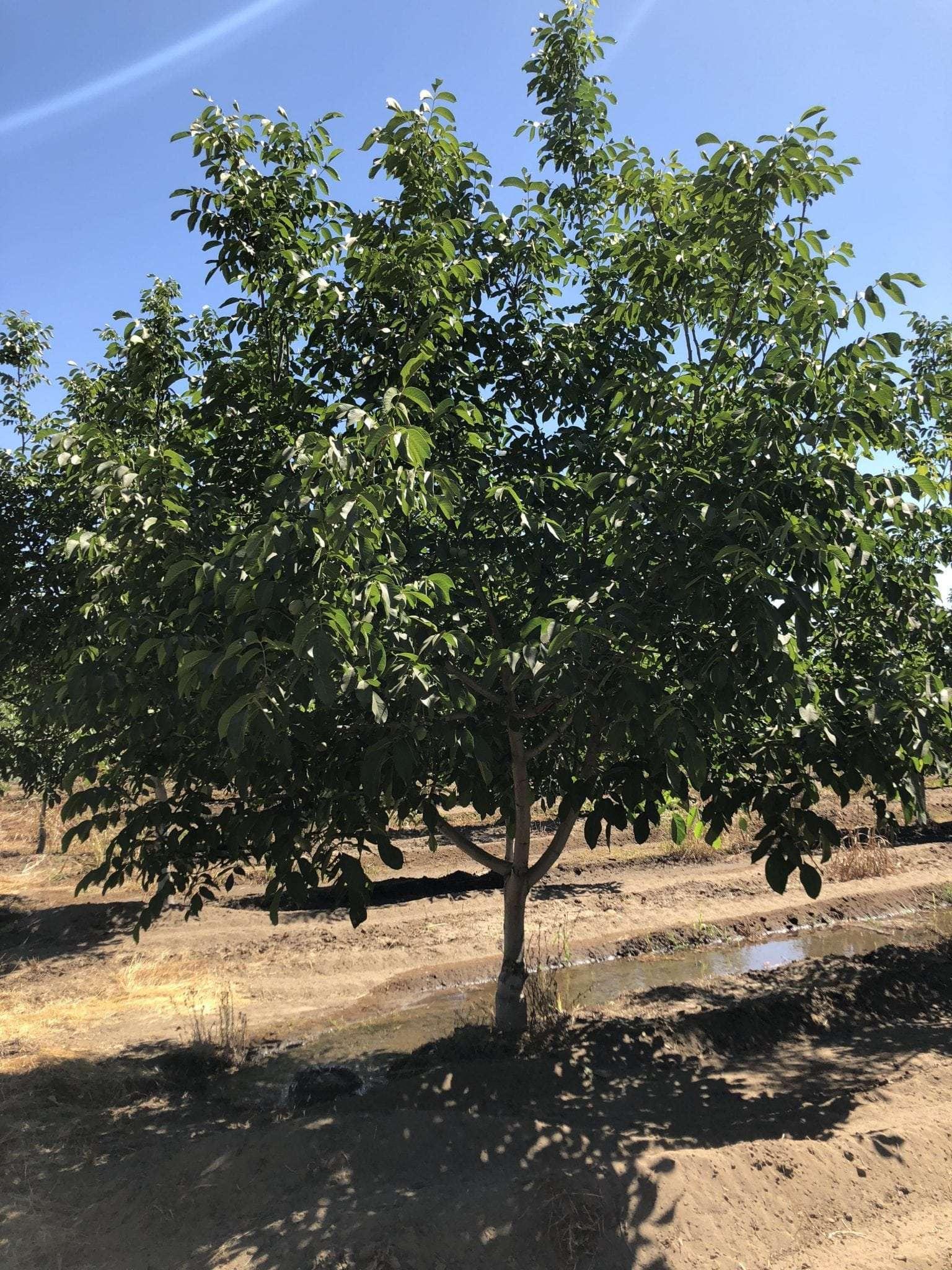 58.38 Ac. Chandler Walnuts, Porterville
