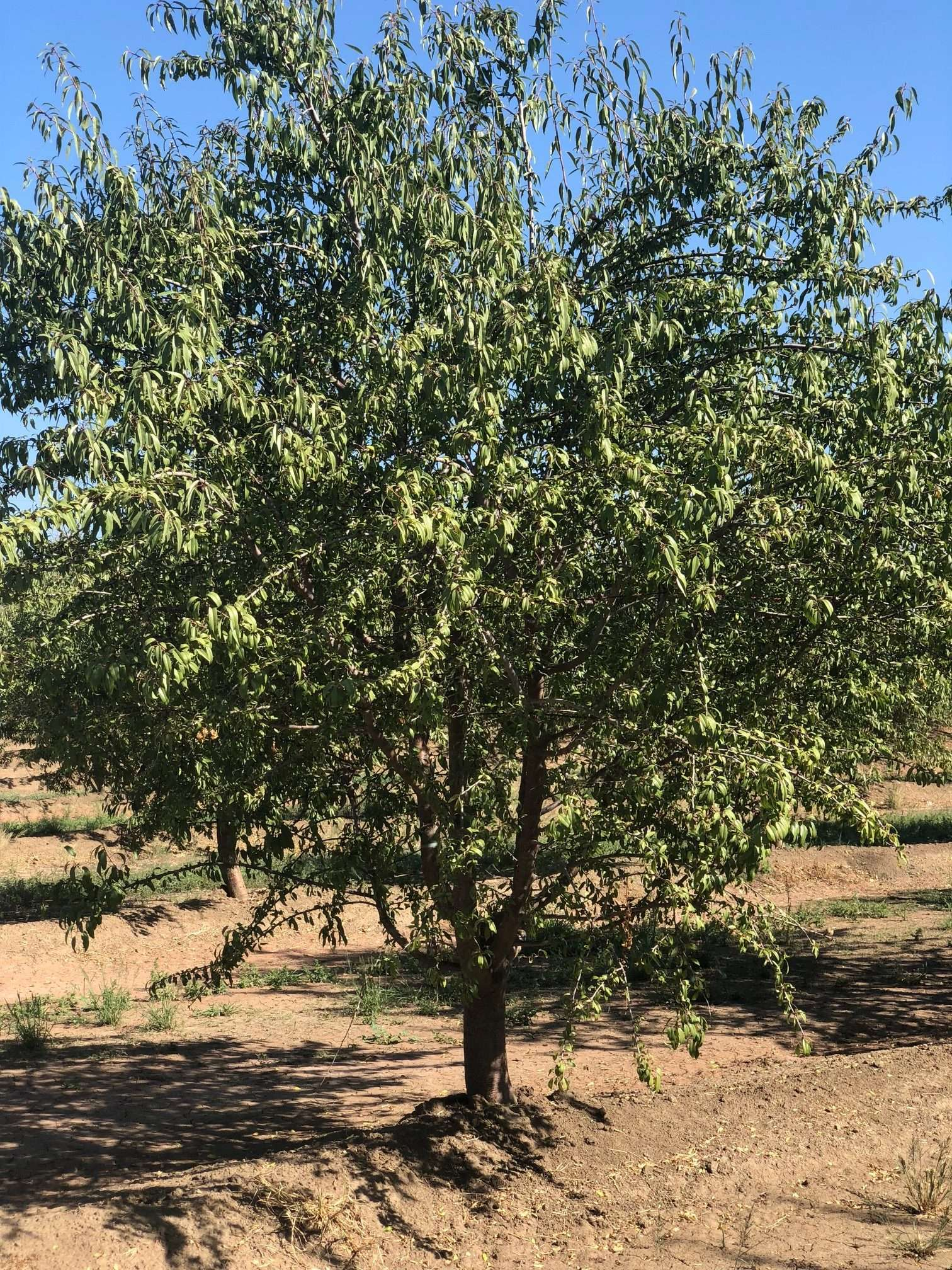 78 Ac. Almonds, Tulare County