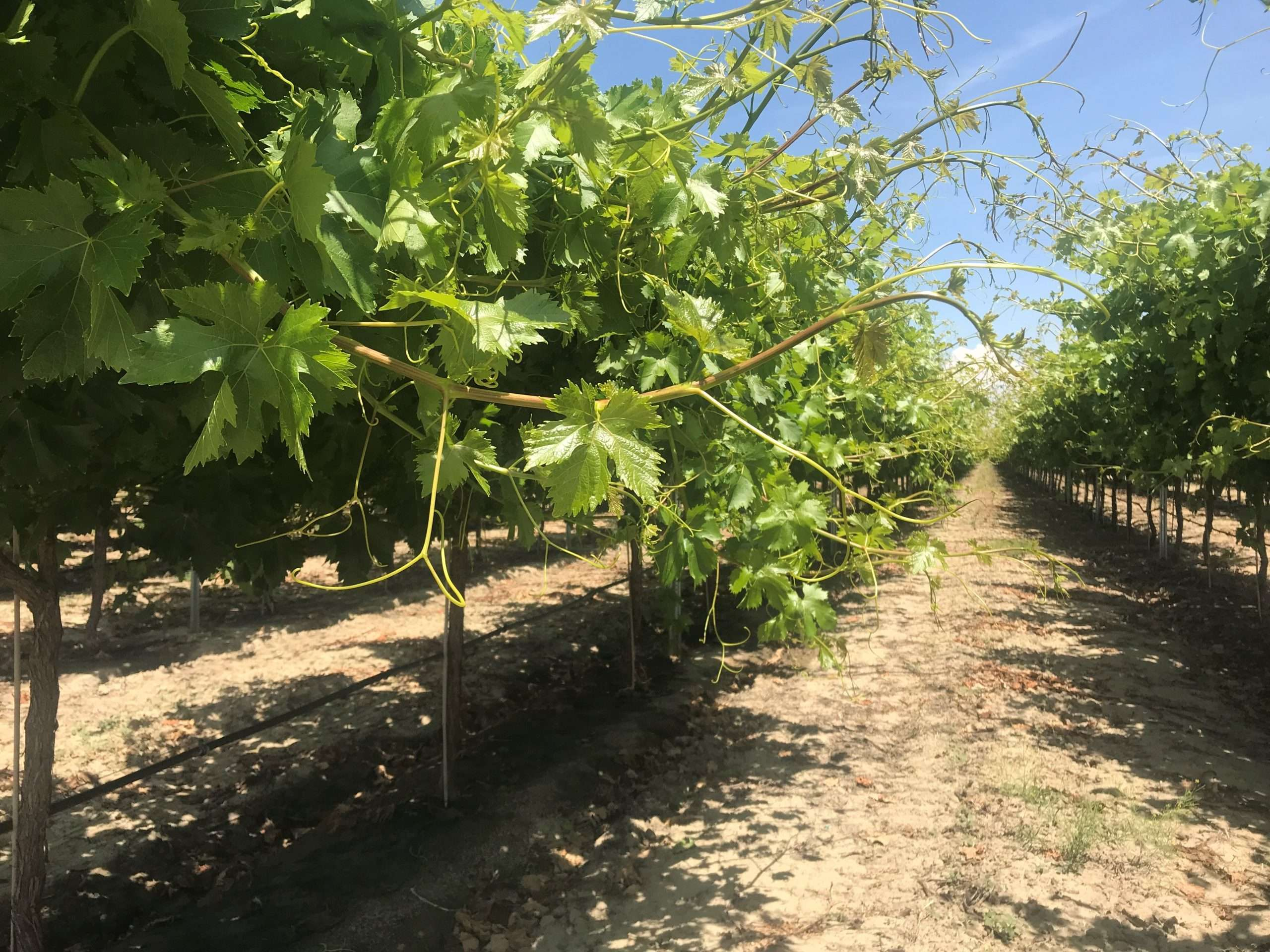 310.9 Ac. Vineyards, McFarland