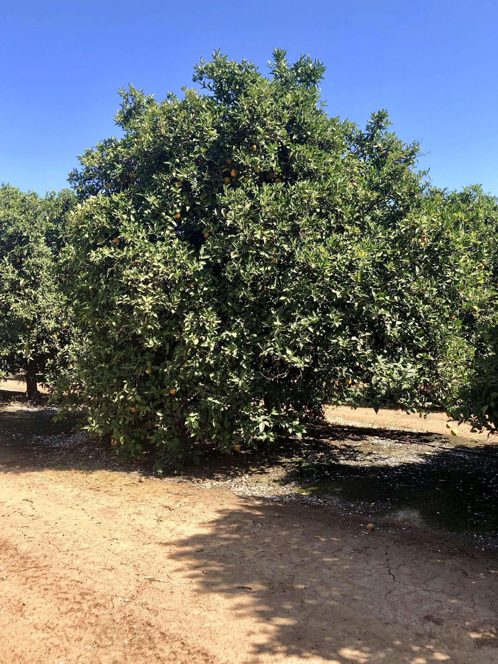 148.7 Ac. Citrus, Orosi