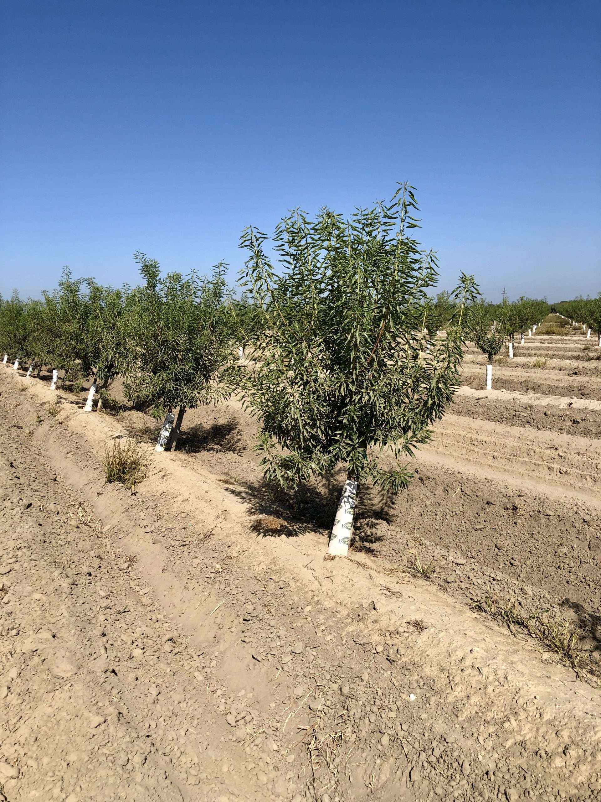 20 Acres Independence Almonds