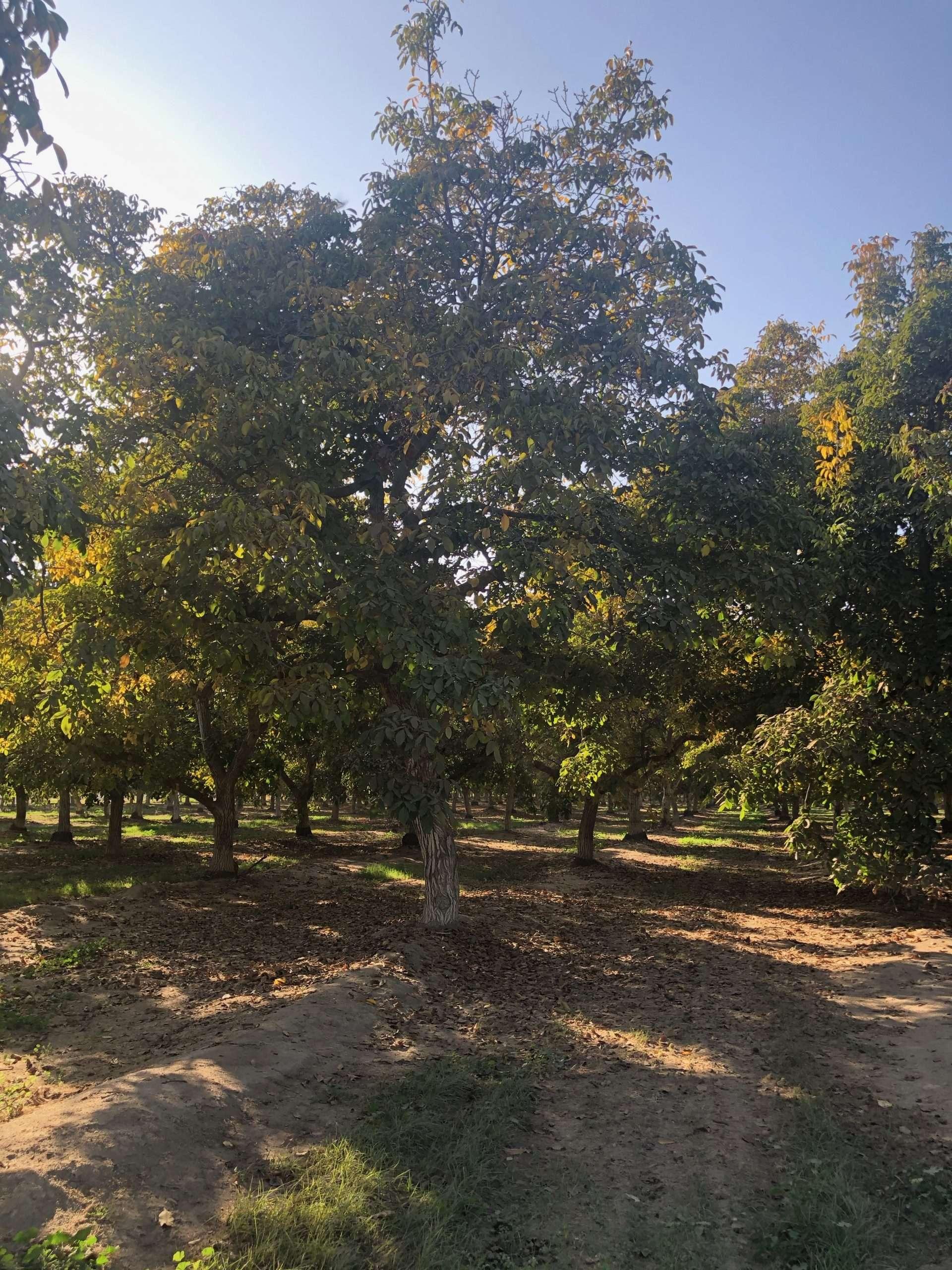 38.79 Acres Walnuts Woodville, CA