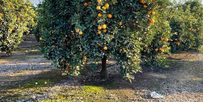 Citrus for sale 4