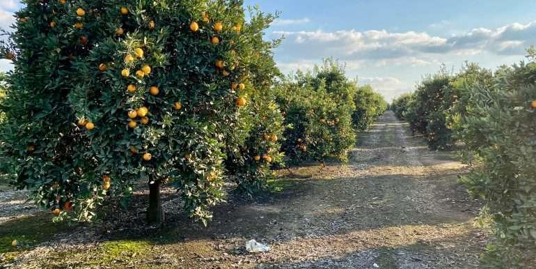 Citrus for sale 1