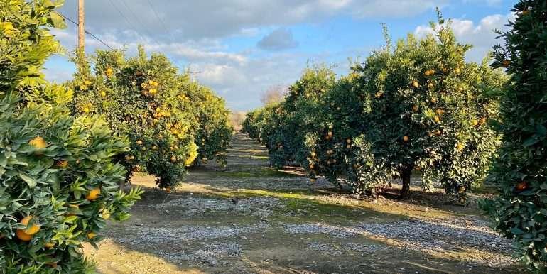 Citrus for sale 3