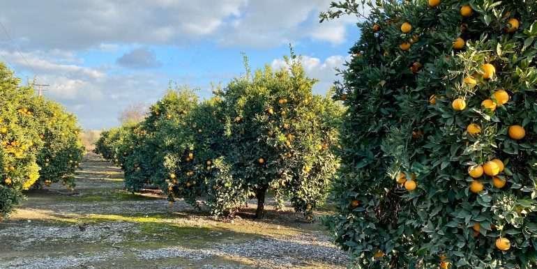 Citrus for sale 2
