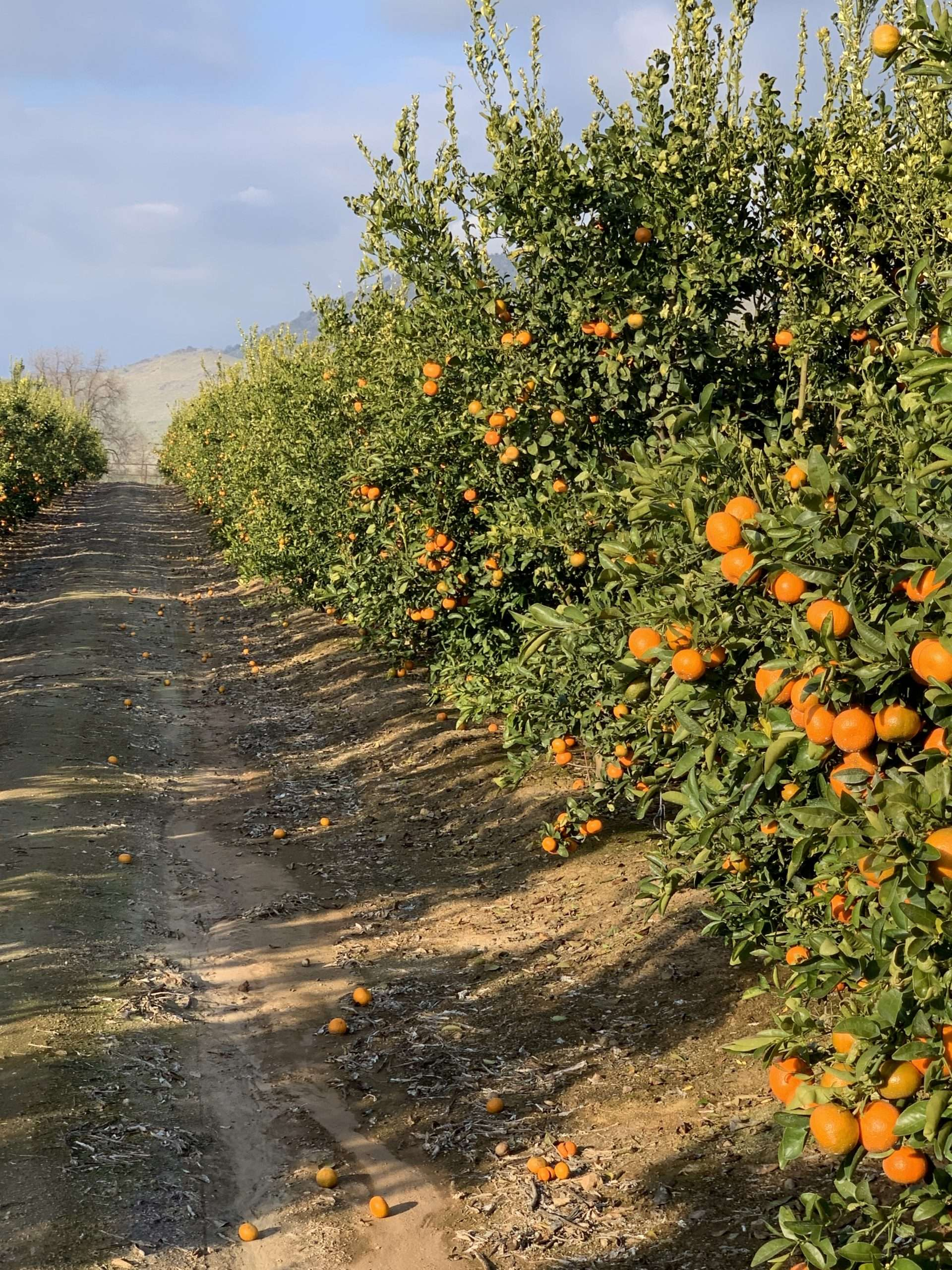 27.6 Ac. Citrus, Olives & Home, Woodlake, CA