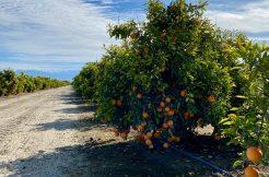 Citrus-Orchard-For-Sale