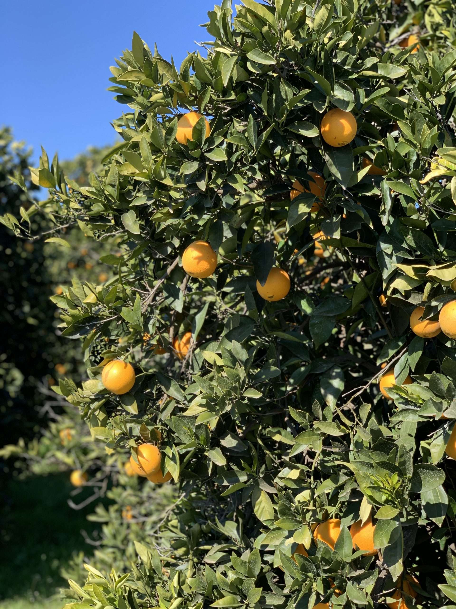 17.8 Ac. Organic Citrus, Terra Bella, CA