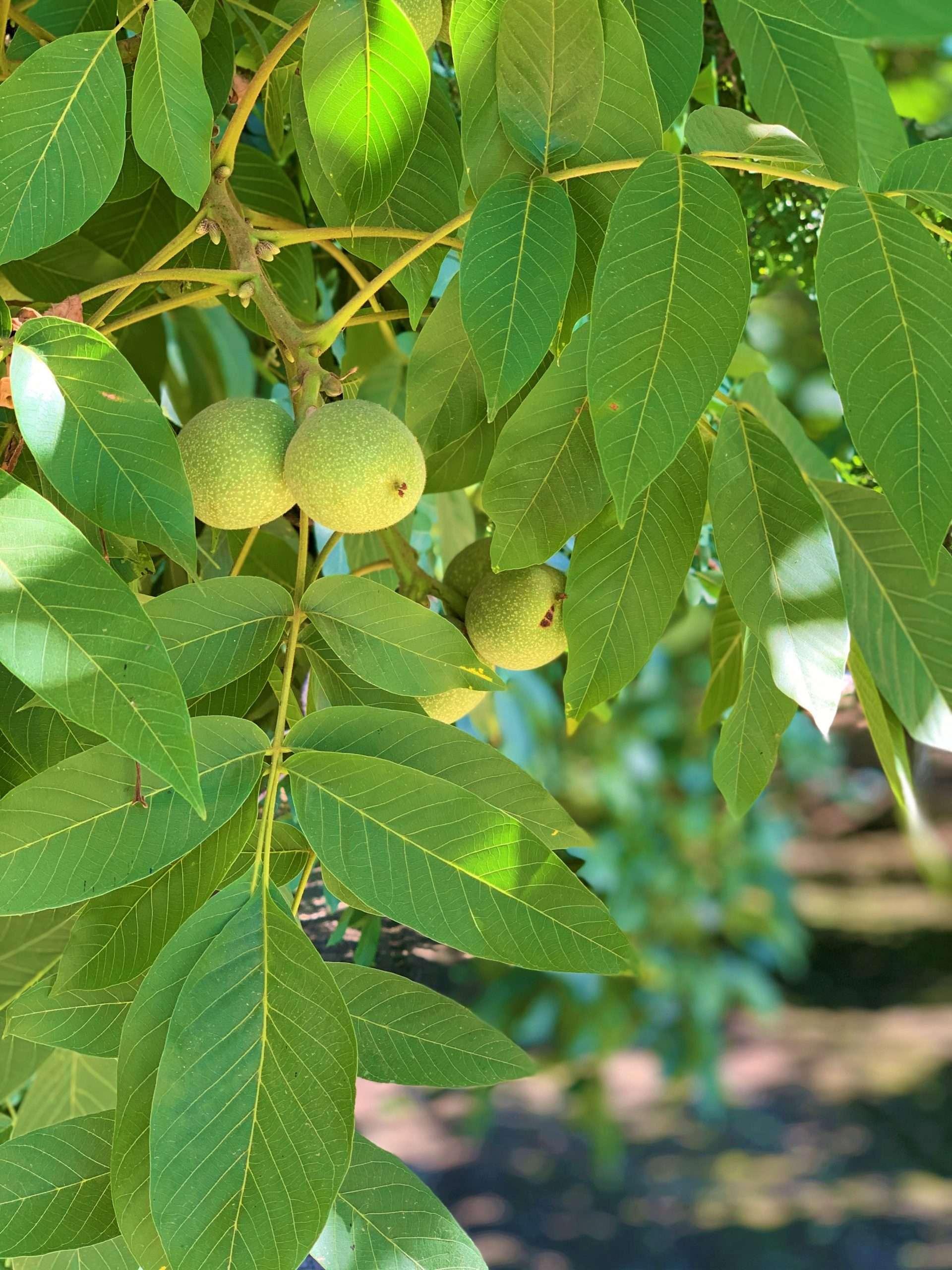 West Tulare Walnuts