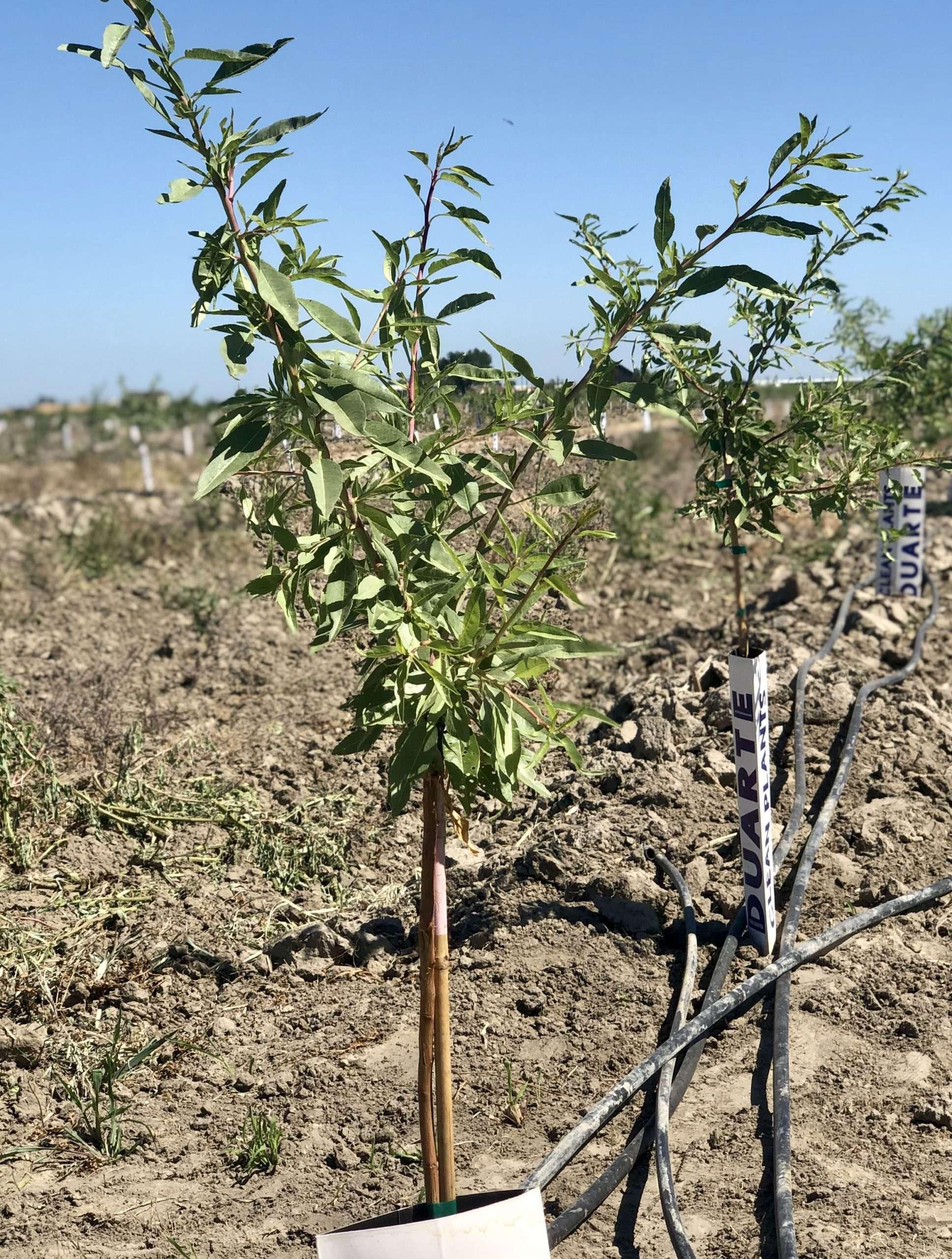 167.35 Acres Almonds – Turlock, CA