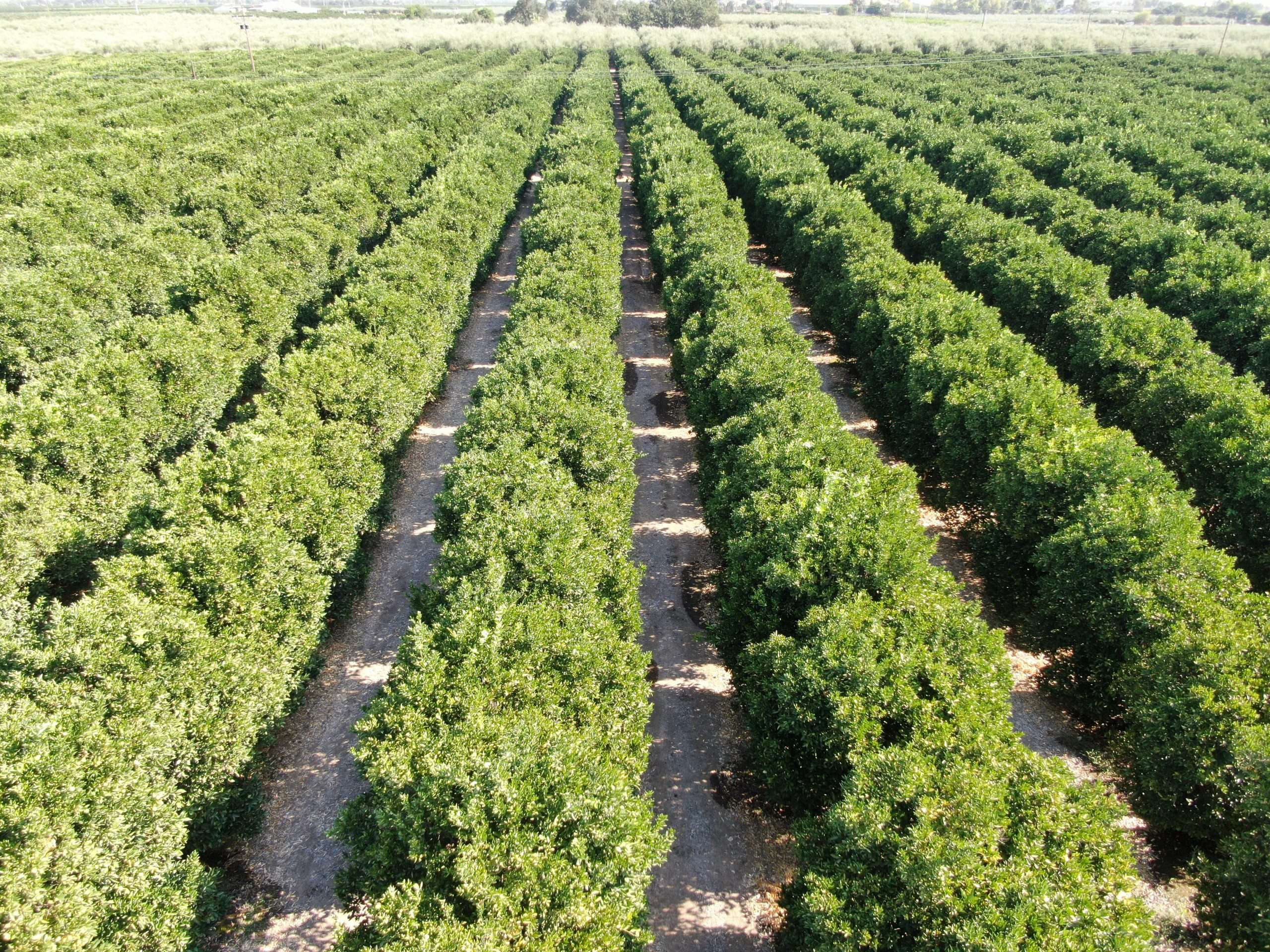 48.9 Acres Citrus & Olives, Woodlake, CA
