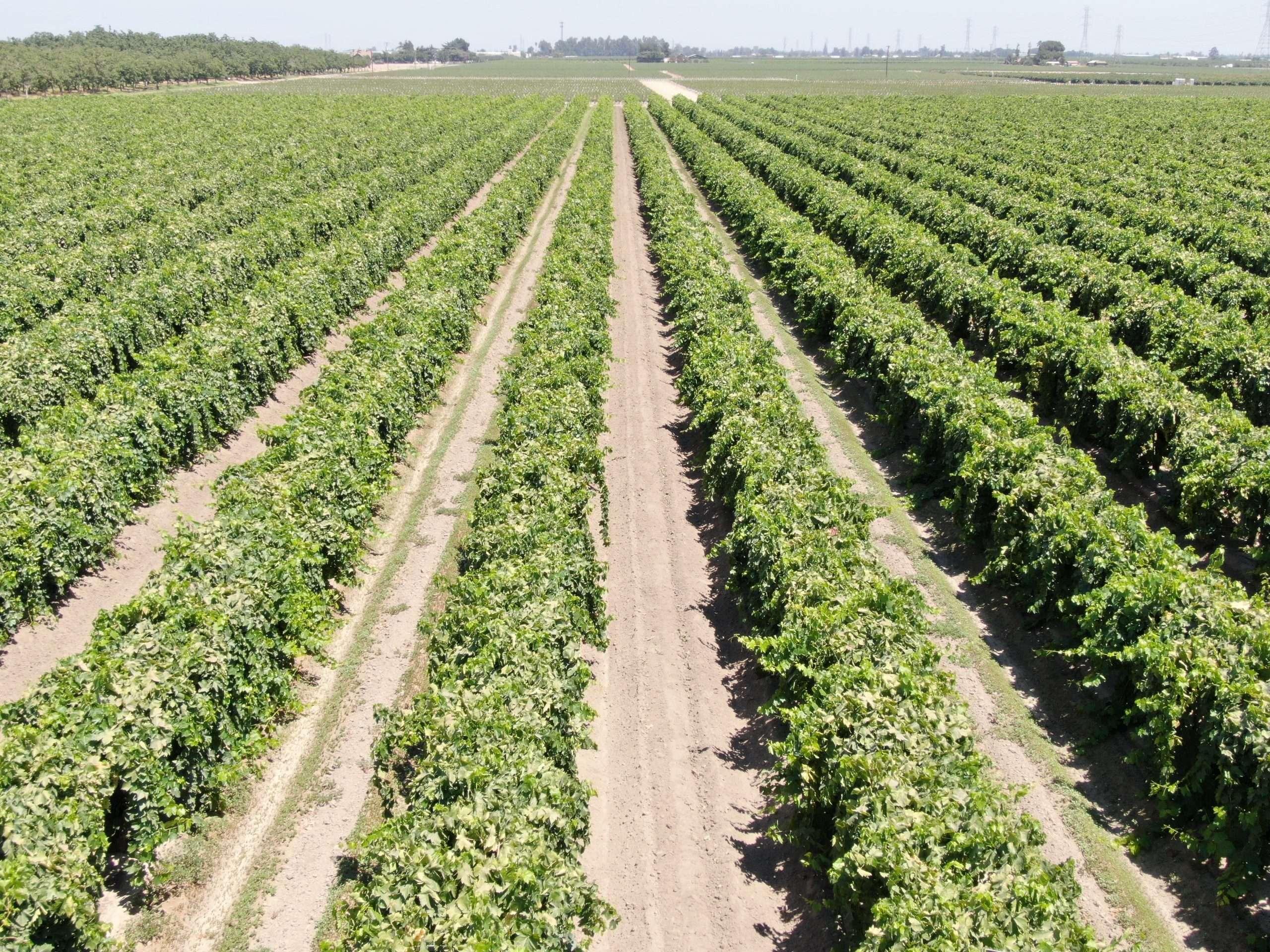 79 Acre Vineyard, Fowler, CA