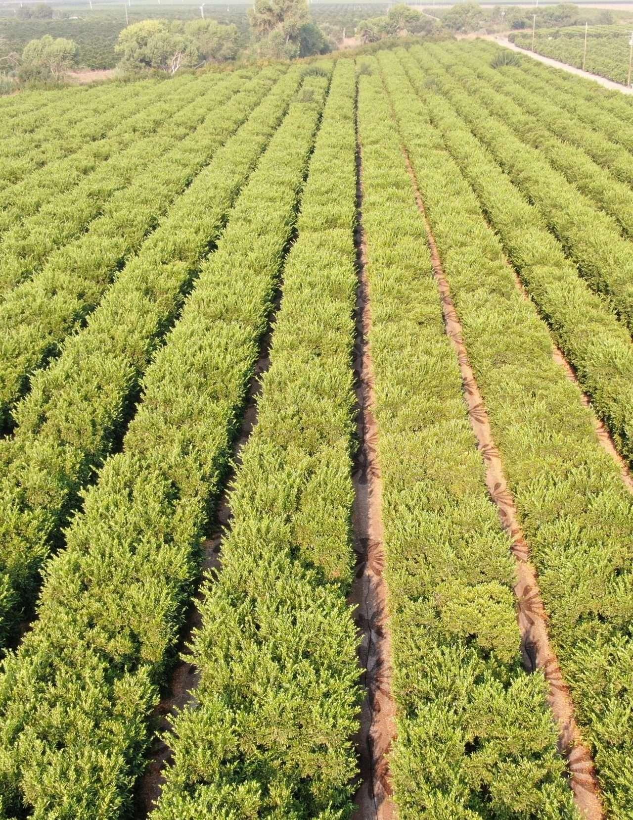 29.9 Acres Satsuma Mandarins, Ivanhoe, CA