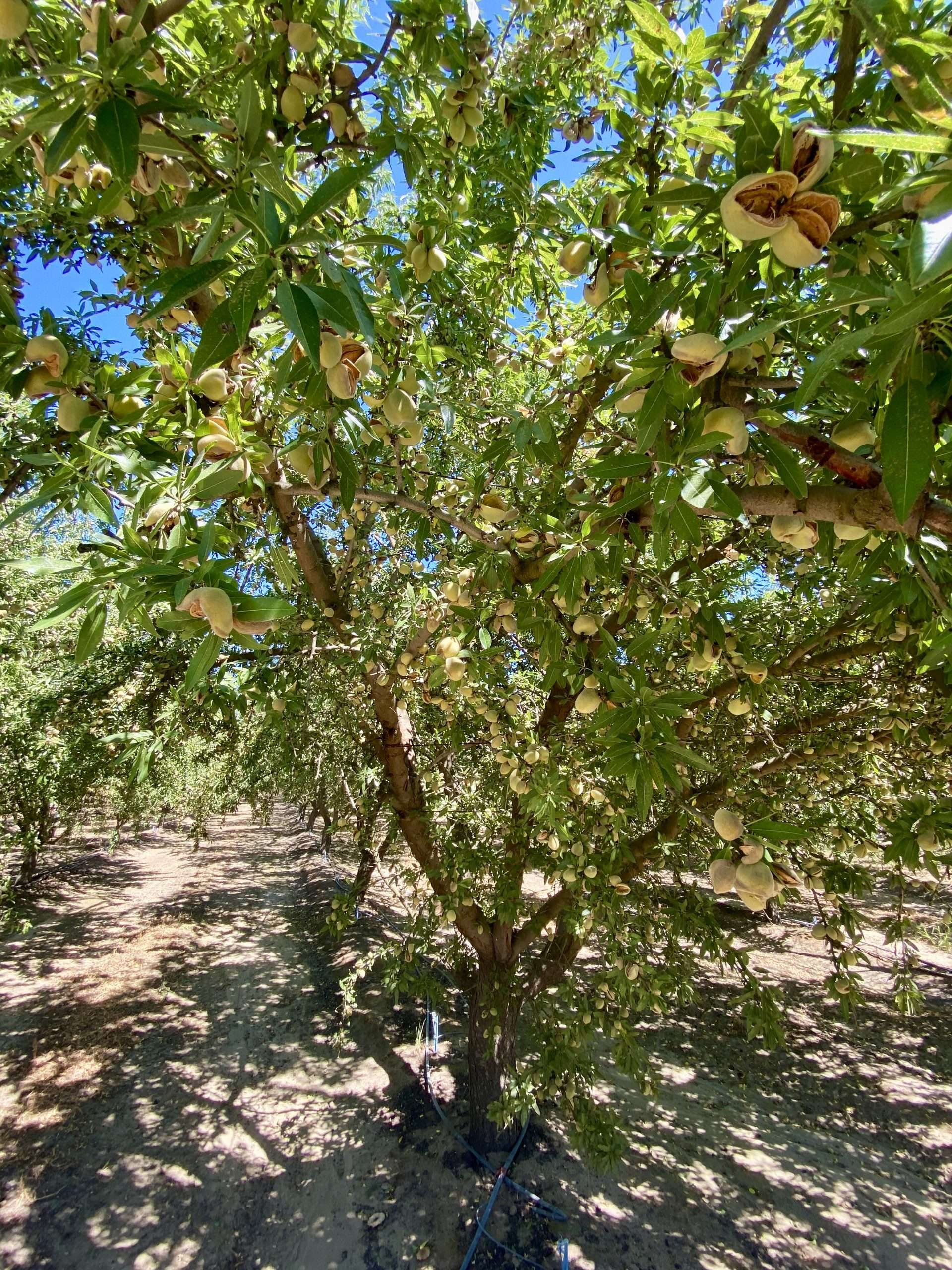 38.71 Acres – Almonds and Open Land – Selma, CA