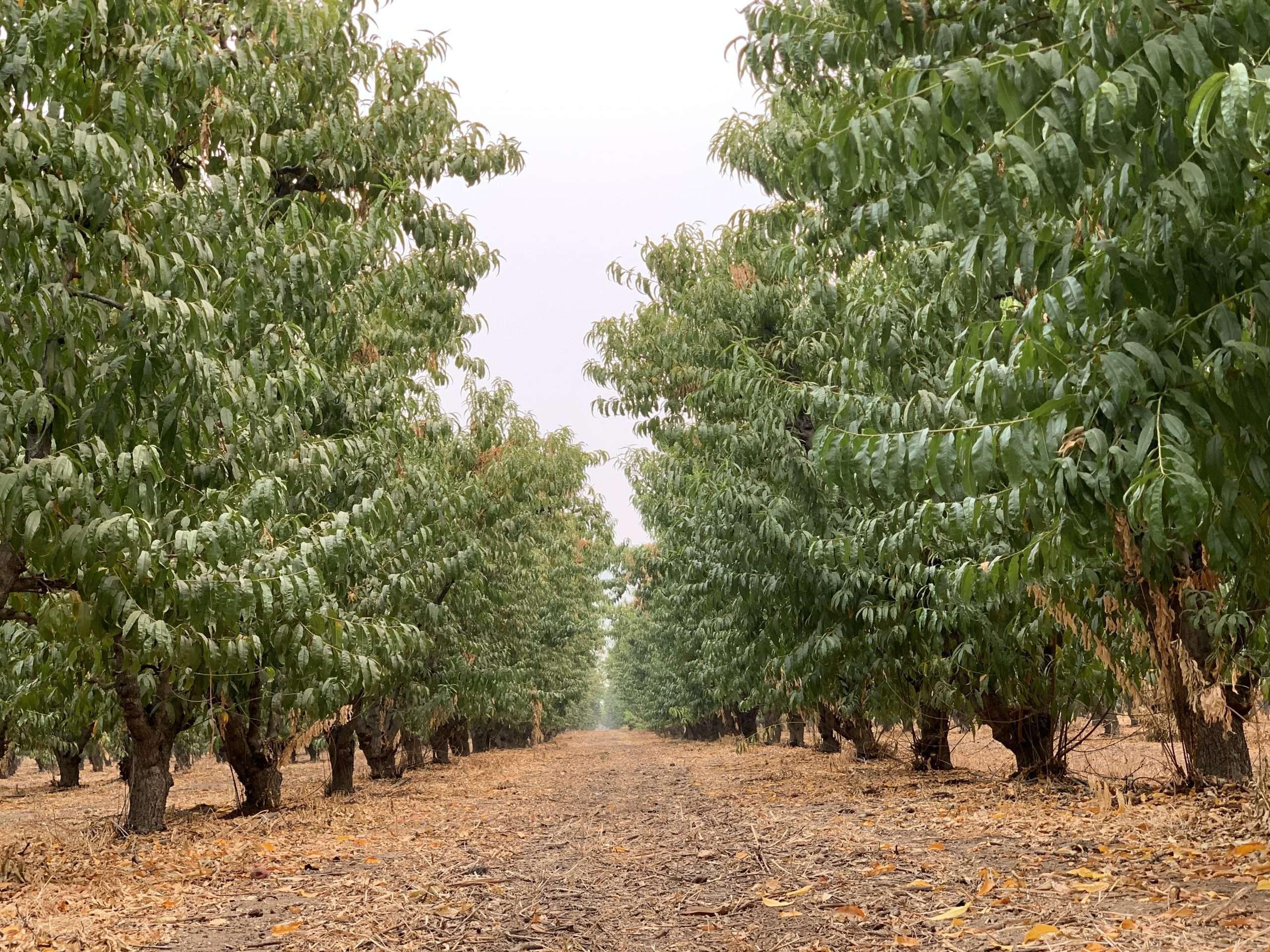 56 Acres Peaches and Open Ground, Orange Cove, CA