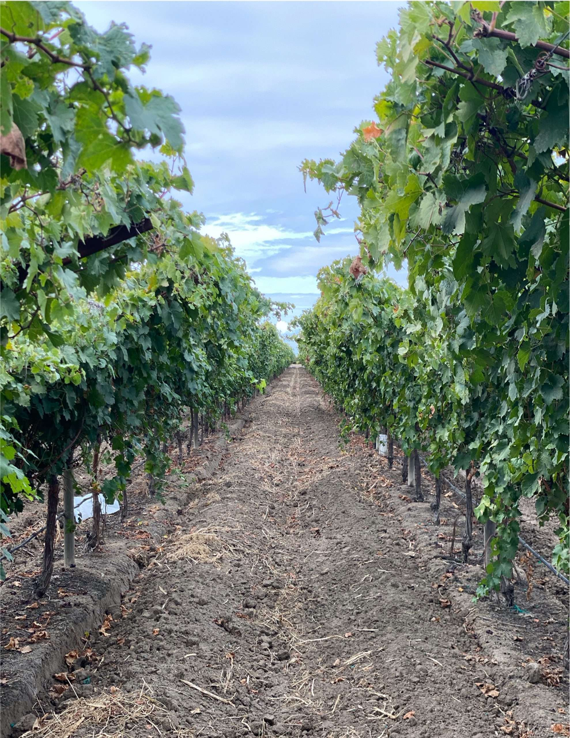 102 Acres – Table Grapes