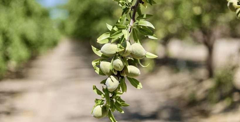 +/-333.98 Acres – Almonds – San Joaquin, CA