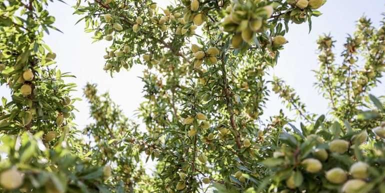 +--333 acres almonds - Doug-31