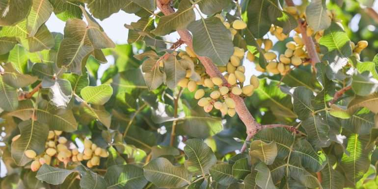 280 Acres - Pistachios and Open Ground - Ducor-16