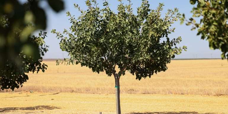 280 Acres - Pistachios and Open Ground - Ducor-19
