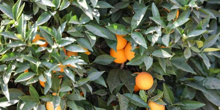 Ben's +--40.79 acres - Citrus - Dinuba-1