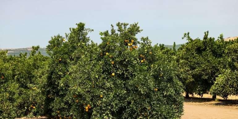 Ben's +--40.79 acres - Citrus - Dinuba-17
