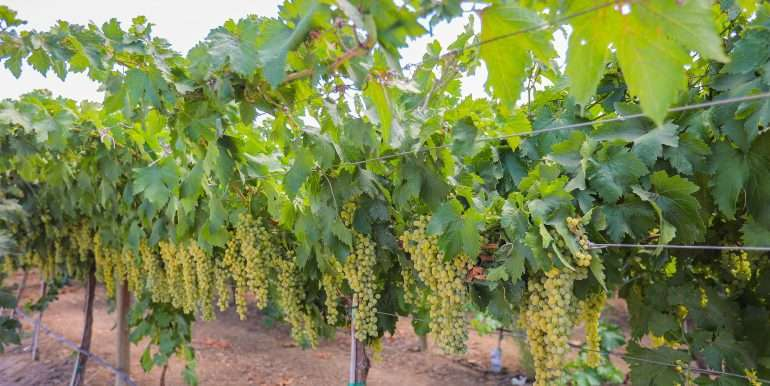 Stephen 48 acres citrus and vines trellis-5