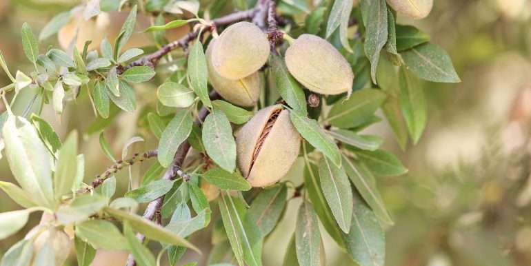 19 acres tipton almonds-10
