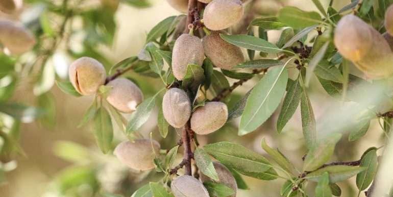 19 acres tipton almonds-11