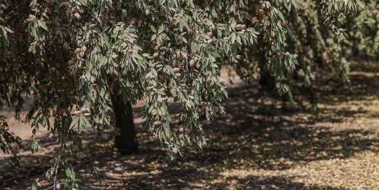 19 acres tipton almonds-13