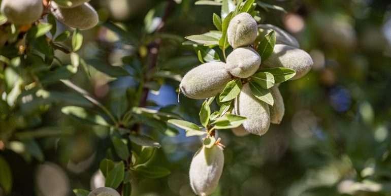 39.09 Acres Almonds Fresno-13