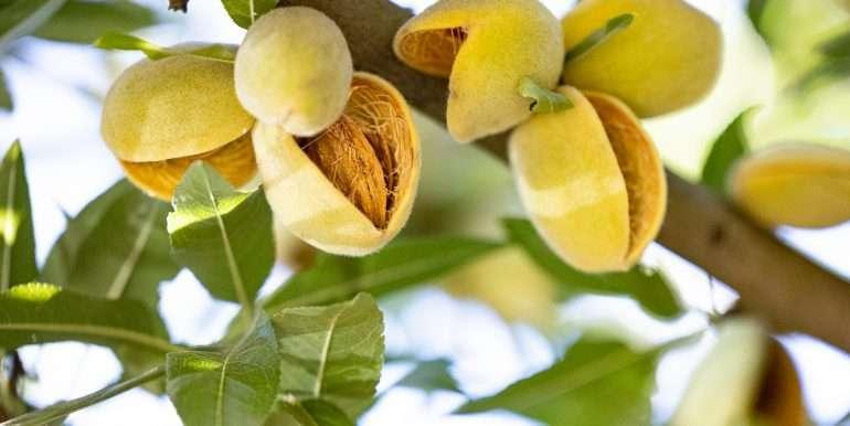 39.09 Acres Almonds Fresno-16