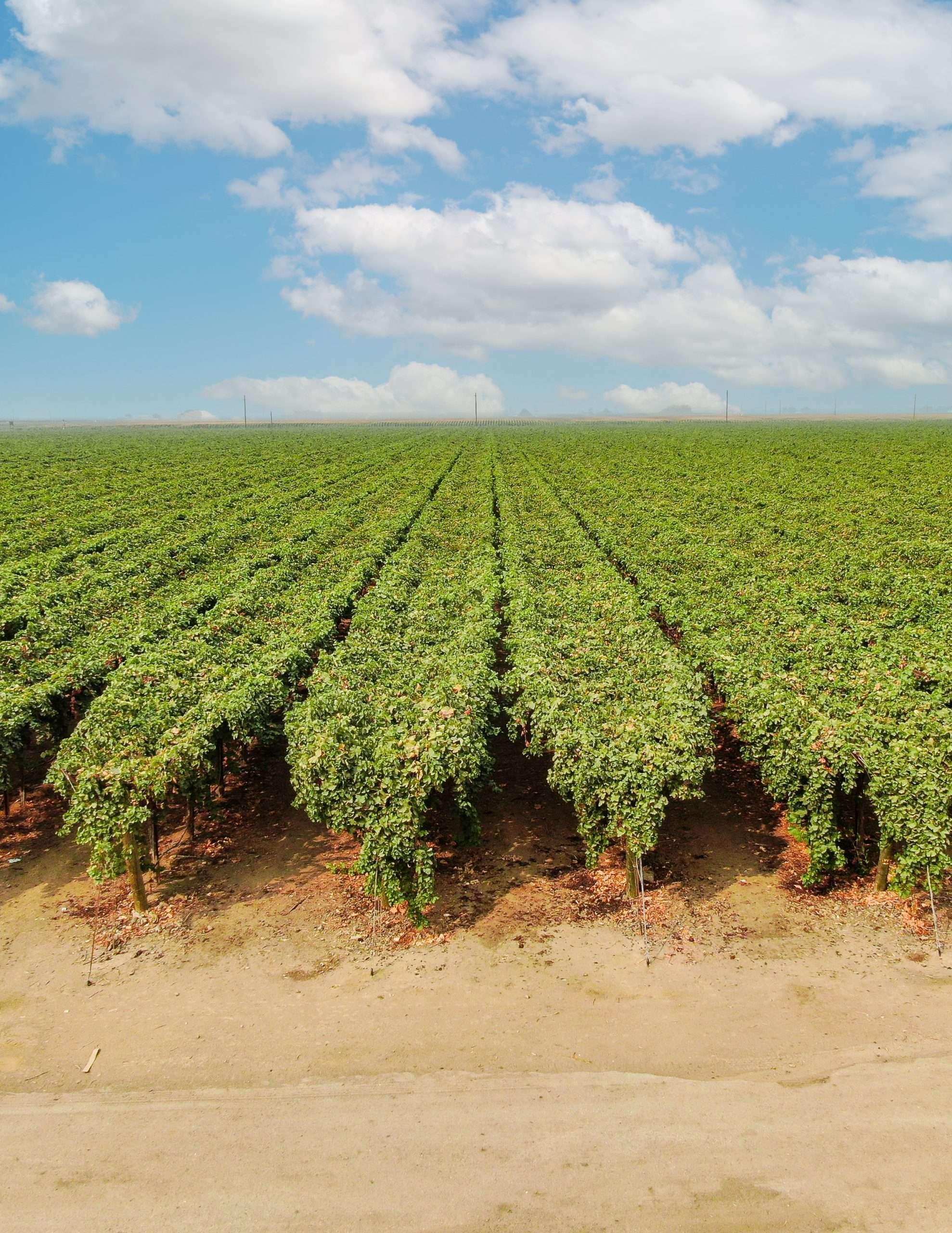 +/-70.03 Acres – Table Grapes – Dinuba