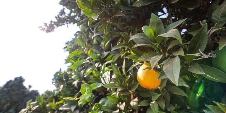 porterville 77 citrus-12
