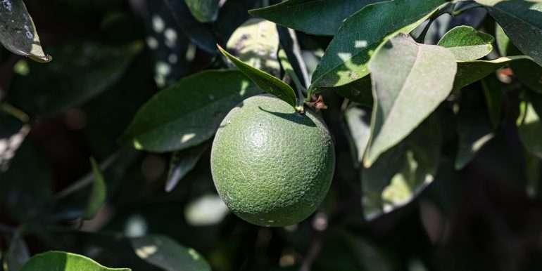 porterville 77 citrus-5