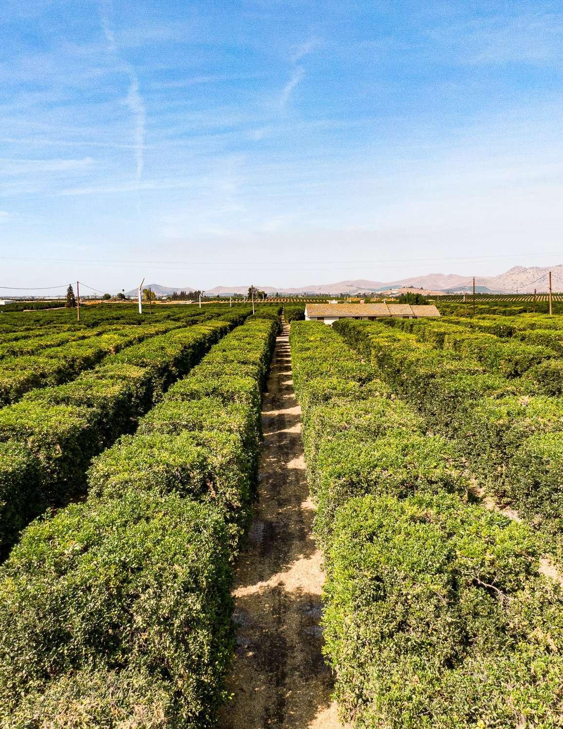 +/-77 Acres – Citrus & Open Ground – Porterville, CA